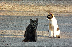 Corsicats (Mystycat =^..^=) Tags: chat cat gato gatto kitty katze félin corsica corse france biguglia hautecorse kallisté iledebeauté feline hdr