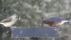 Bluebirds (and Friends) in the Snow (Steve Byland) Tags: eastern bluebird sialia sialis tufted titmouse baeolophus bicolor snow feeder mealworms panasonic vx870