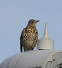 Mistle Thrush, Derby lamp-post. (dugwin2) Tags: mistle thrush upon lamppost derby waiting for waxwings
