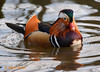 Mandarin Duck (wok smuggler) Tags: mandarinduck aixgalericulata outdoor water stover waterfowel bird duck animal aquabird