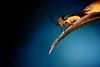 Iridescent leaf cylinder beetle (Axon Imagery) Tags: aporocerairidipennis nikond700 nikon135mmf2dc extensiontubes chrysomelidae leafbeetle iridescentleafcylinderbeetle darkness
