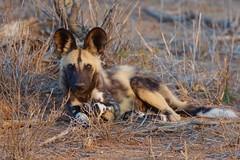 subadult African Wild Dog, Kruger NP (cirdantravels (Fons Buts)) Tags: lycaon wildhund wildehond wilddog paintedhuntingdog kruger predator ngc