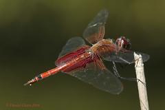 Carolina Saddlebags Dragonfly (danielusescanon) Tags: wild carolinasaddlebags odonata anisoptera libelluloidae tramea cbec chesapeakebayenvironmentalcenter maryland