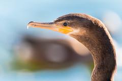 1K5A1899 (gilamonster8) Tags: bird beyondbokeh bokeh arizona desert duck flight fishing park lake blue