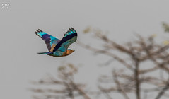 Indian Roller in Flight (Yogendra174) Tags: 400mm 7dm2 konkan birds indianbirds birding birdinflight