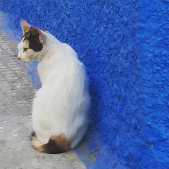 Cat got the blues (dda1605) Tags: blue wall morocco maroc rabat oudaya