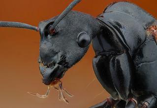 Camponotus (Formicidae)