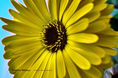 A beautiful smile ... (dimitra_milaiou) Tags: life blue light sky flower color colour macro art love nature beautiful smile up yellow closeup island greek happy photography nikon perfect holidays europe day close bokeh outdoor live happiness visit greece vacations andros dimitra 2015 d90     milaiou