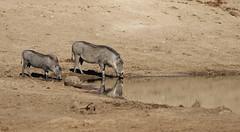Erindi (Merwe Erasmus) Tags: namibia warthog erindi vlakvark phumba