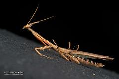 Bark horned mantis (Ceratocrania sp.) - DSC_4105 (nickybay) Tags: macro mantis cone head ghost bark devil sabah horned mantodea mantidae ceratocrania tawauhill borneobootcamp