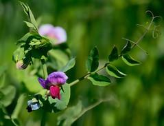 Blte der Erbse (impossiblejoker) Tags: flower pea blte erbse