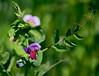 Blüte der Erbse (impossiblejoker) Tags: flower pea blüte erbse