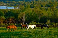 Late summer evening (estenvik) Tags: horses horse mountain norway norge dovre pony pasture grazing hester fjell hest icelandic dovrefjell hjerkinn oppland pastureland islandshest beite beitemark estenvik erikstenvik