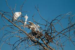 Party in the trees (emiliechenphotography) Tags: summer bird snowyegret blackcrownednightheron nycticoraxnycticorax 2015 egrettathula sanjoaquinwildlifesanctuary
