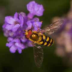 "Hover Fly II • <a style=""font-size:0.8em;"" href=""http://www.flickr.com/photos/53908815@N02/19323527354/"" target=""_blank"">View on Flickr</a>"
