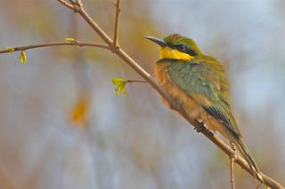 species 3: Little Bee-eater, Moremi GR, Okavango Delta, Botswana