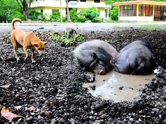 ,, Hog Heaven ,, (Jon in Thailand) Tags: trees red dog green yellow fruit monkey leaf nikon mud bananas jungle pigs swine nikkor primate d300 mudbath mudhole bananabunch 175528 thelittledoglaughed decayingbuildings abandonedabusedstreetdogs littledoglaughedstories
