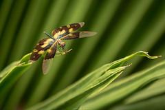 Common Picture Wing or Variegated Flutterer (Tarek_Mahmud) Tags: dragonfly bangladesh tmp tarek trk mhd tmphotography tarekmahmud trkmhd tarekmahmudphotogtaphy