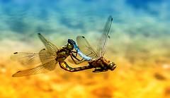 Love is in the Air 💘 (Delbrücker) Tags: macro dragonfly makro libelle nikkor105mm nikond610