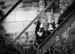 Devotion (Jen St. Louis) Tags: urban dog pet ontario canada black stairs blackwhite downtown elmira kitchener waterloo mississauga marty pawprints dogphotography petportrait petphotography dogportrait chihuahuacross jenstlouis wwwpawprintsphotosca