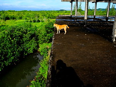 ,, Mama on  Roof (Jon in Thailand) Tags: roof shadow dog green yellow nikon oldman mama jungle swamp handheld nikkor rebar k9 morningsun shadowman d300 onehanded flatroof dogonroof 175528 thelittledoglaughed cementroof abandonedabusedstreetdogs littledoglaughedstories
