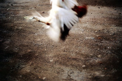 27-275 (ndpa / s. lundeen, archivist) Tags: bali color bird film birds 35mm indonesia nick cock arena dirt southpacific rooster cocks 1970s 27 1972 roosters indonesian cockfight gamecock gamecocks dewolf oceania pacificislands cockfighting nickdewolf photographbynickdewolf cockfightingarena reel27 cockfightarena