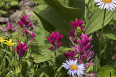 """Indian Paintbrush • <a style=""""font-size:0.8em;"""" href=""""http://www.flickr.com/photos/63501323@N07/20156681341/"""" target=""""_blank"""">View on Flickr</a>"""