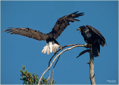 2015 'baby' bald eagle and parent (marneejill) Tags: baby intense child open adult beak bald parent angry aggressive juvenile squawking