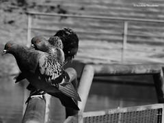 Columba livia Gmelin, 1789 (Arystene Nicodemo) Tags: animalia chordata classe aves columbiformes columbidae columbinae pombodoméstico pomba bird fauna exótico introduzido praga aryphotography