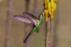 7030-   Hummingbird (canuckguyinadarkroom) Tags: hummingbird cubanemerald birds