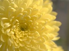 chrysanthemum (upjohn_freak) Tags: flower fleur fiore closeup macro yellow 花