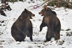 Face 2 Face (Claudio Cantonetti) Tags: bayerischer bayerischerwald bayerischerwaldnationalpark d750 nikon animal claudiocantonetti claudiocantonetticom forest germany travel wildlife bears bear pup mammal fighting playing game fun two couple roar winter snow fur nature