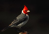 Red Crested Cardinal Poses - Ka'anapali, Maui (Barra1man) Tags: redcrestedcardinalposes redcrestedcardinal cardinal red bird nature wildlife tropical pond water darkbokeh kaanapali maui hawaii unitedstates olympus olympusem1 iso800 lens300mm f5616400