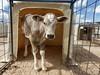 """barrosita"" (carlos mancilla) Tags: vacas cows becerras calves bostaurus olympussp570uz holstein"