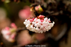 348 of 366 - Winter blossom. (Mark J Pearce) Tags: 366 3662016 366the2016edition 2016 366project