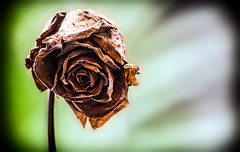 A Rose never dies. (CWhatPhotos) Tags: picture pictures photos photo images image foto fotos that have which contain taken cwhatphotos olympus em10 mk ii 75300mm zoom zuiko telephoto lens rose decay decayed old 15 years dried dry brown flickr