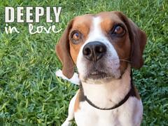 365-20 (Letua) Tags: perro striker dog pet mascota love beagle