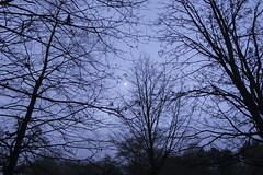 20161218_Moon and Trees (Damien Walmsley) Tags: knowle knowlepark trees moon sky hazy
