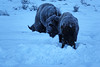 Foraging Bison (DigitalSmith) Tags: tetons grandtetonnationalpark mountains wyoming