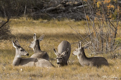 Mind If I Join You (Alfred J. Lockwood Photography) Tags: alfredjlockwood nature deer doe bosquedelapachewildliferefuge bosque afternoon newmexico autumn field grass muledeer group