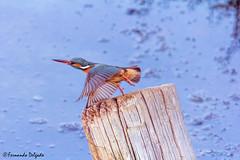 Guarda Rios (Alcedo atthis) (Fernando Delgado) Tags: guardarios aves ave avesemvoo birds birdwatching ludo parquenaturaldariaformosa birdsinflight waterbirds