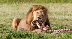 What a tasty steak !!! (Renzo Ottaviano) Tags: sterkfonteindma gauteng sudafrica south africa renzo lorenzo ottaviano lion eating