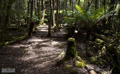 Arve River Forest Walk (seantaylorphotography) Tags: tas tassie tasmania island south australia aus aussie downunder travel travelblog blog blogger travelphotography natgeo nat geo national geographic landscape landscapephotography forest sunlight hike hiking walk walking tree green