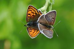 D71_7518A (vkalivoda) Tags: motýl butterfly schmetterling insect macro depthoffield bokeh serene makro ohniváček ohniváčekčernoskvrnný lycaenatityrus ohniváčikčiernoškvrnný sootycopper braunerfeuerfalter courefosc sortildfugl pruunkuldtiib mantooscuro cuivréfuligineux titiro brunaiszeltainitis tamsusisauksinukas barnatüzlepke bruinevuurvlinder czerwończykuroczek tamnidukat tanskankultasiipi danskguldvinge ýslibakýrgüzeli