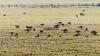 Flock of Canada geese (Branta canadensis) grazing with sheep (Ian Redding) Tags: anatidae ardeacinerea aves brantacanadensis british canadageese canadagoose european uk bird duck eating fauna feeding field flock fowl geese goose grass grazing herd heron nature sheep water wildlife