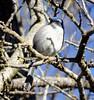 California Scrub-Jay--Aphelocoma californica (Polioptila caerulea) Tags: jay scrubjay californiascrubjay aphelocomacalifornica aphelocoma pioneerpark grassvalley california nevadacounty casj