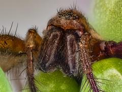 2017-01-12 21-59-05 (C) (turbok) Tags: insekten spinnen tiere