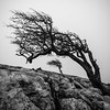 Resilience (Ian Allon) Tags: mono bw blackandwhite yorkshire tree rock limestone pavement fog bleak square landscape outdoor sony a6000 samyang