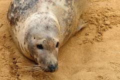 Mi amiga la foca (alfonsocarlospalencia) Tags: foca amiga santander palacio de la magdalena cantabria arena ternura bigotes pensadora reflexiva humana conversadora tristeza lucidez filosófica