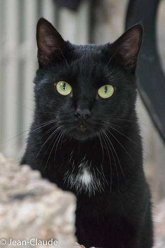 Domestic Cat ♂ black shorthair